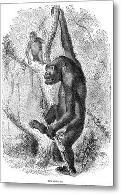 Gorilla Metal Print by Granger