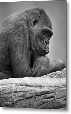 Gorilla Portrait Metal Print by Darren Greenwood
