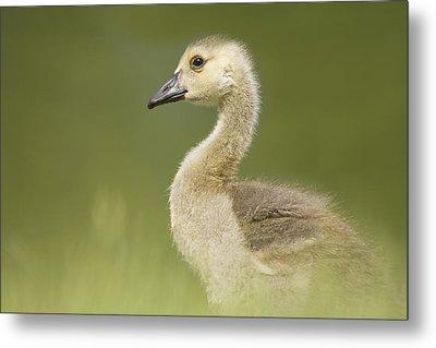 Gosling Metal Print by Lisa Franceski Wildlife Photography