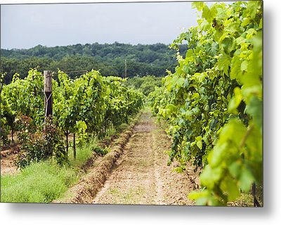Grape Vines At Fall Creek Vineyards Metal Print by James Forte