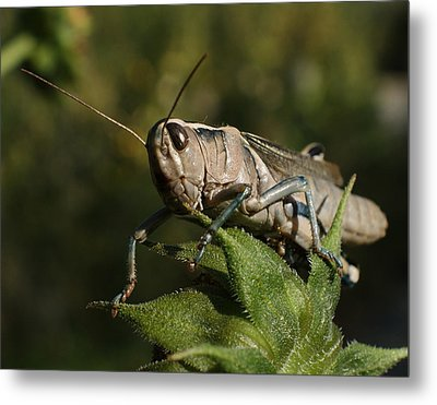 Grasshopper 2 Metal Print by Ernie Echols