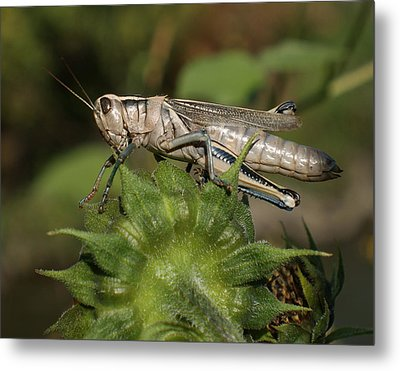 Grasshopper Metal Print by Ernie Echols