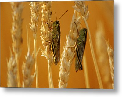 Grasshoppers On Wheat, Treherne Metal Print by Mike Grandmailson