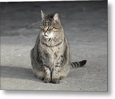 Gray Tabby Cat Sitting On Concrete Floor Metal Print by Diane Miller