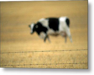 Grazing Cow, Alberta, Canada Metal Print by Ron Watts