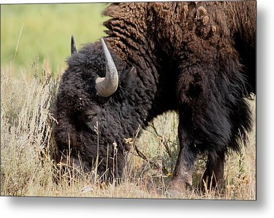 Grazing The Yellowstone Valley Metal Print by David Dunham