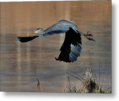 Great Blue Heron Flight - C1287g Metal Print by Paul Lyndon Phillips