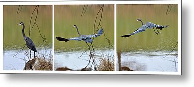 Great Blue Heron Takes Flight - T9535-7h  Metal Print by Paul Lyndon Phillips