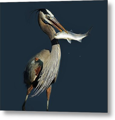Great Blue Heron With Fish Metal Print by Paulette Thomas