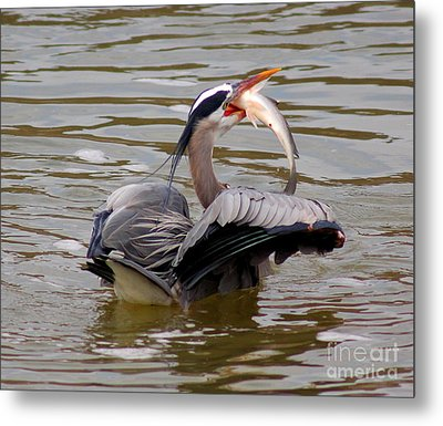 Great Blue With A Drum Metal Print by Robert Frederick