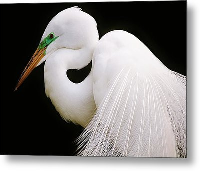 Great White Egret In Breeding Plumage Metal Print by Paulette Thomas