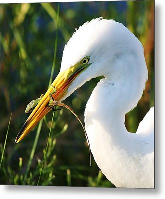 Great White Egret In The Lizard Metal Print by Paulette Thomas