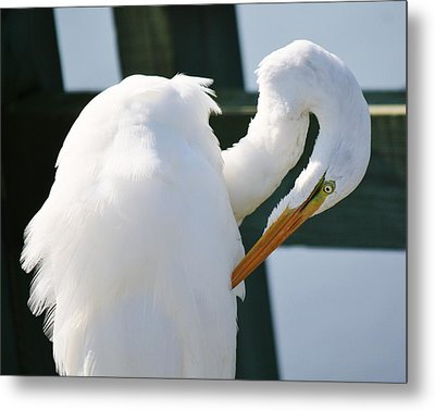 Great White Egret Preening Metal Print by Paulette Thomas
