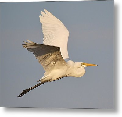 Great White Egret Soaring Metal Print by Paulette Thomas