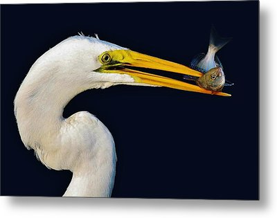 Great White Egret With His Catch Metal Print by Paulette Thomas