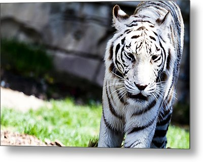 Great White Metal Print by Nicholas Evans