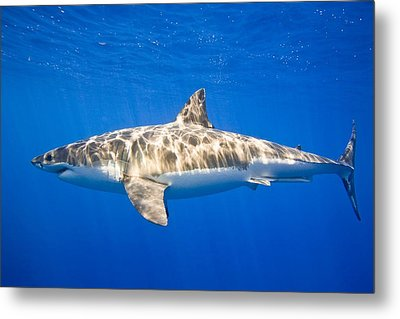 Great White Shark Carcharodon Carcharias Metal Print by Carson Ganci