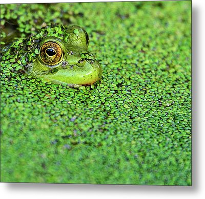 Green Bullfrog In Pond Metal Print by Patti White Photography