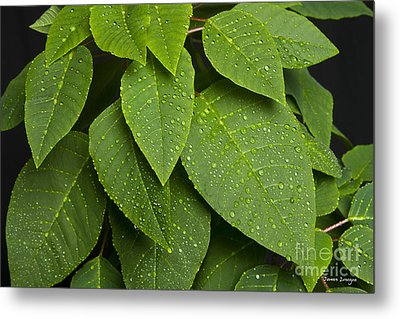 Green Leaves And Water Drops Metal Print by James BO  Insogna