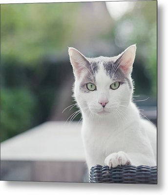 Grey And White Cat Metal Print by Cindy Prins