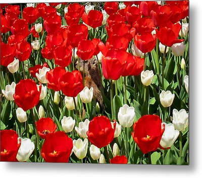 Groundhog Day - A Curious Marmot Peeking Through Luminous Red And White Spring Tulips On A Sunny Day Metal Print by Chantal PhotoPix