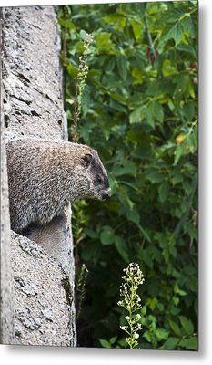 Groundhog Day Metal Print by Bill Cannon