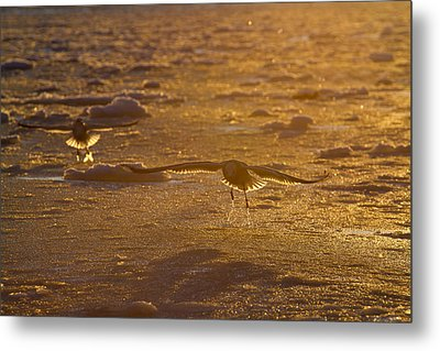 Gulls Searching For A Meal Metal Print by Tim Grams