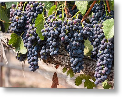 Hanging Wine Grapes Metal Print by Dina Calvarese