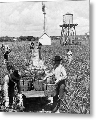 Harvesting Indian River Pineapples - C 1906 - Florida Metal Print by International  Images