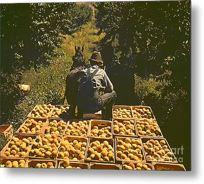 Hauling Crates Of Peaches Metal Print by Padre Art