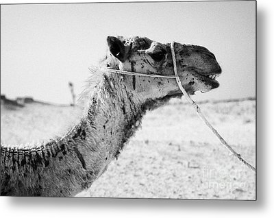 head of a dromedary camel being led through the sahara desert at Douz Tunisia Metal Print by Joe Fox