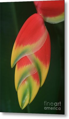 Heliconia Rostrata - Hanging Heliconia Metal Print by Sharon Mau