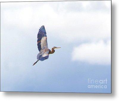 High Flying Blue Heron  Metal Print by John  Kolenberg