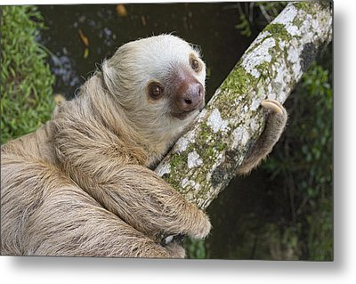 Hoffmanns Two-toed Sloth Costa Rica Metal Print by Suzi Eszterhas