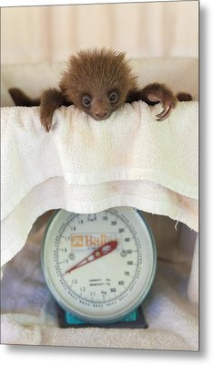 Hoffmanns Two-toed Sloth Orphan Metal Print by Suzi Eszterhas