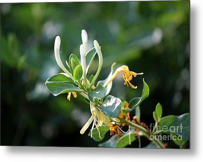 Honeysuckle Metal Print by Theresa Willingham