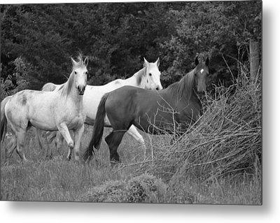 Horses In Black And White Metal Print by Rick Rauzi