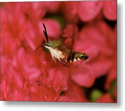 Hovering Clearwing Hummingbird Moth Metal Print by Lara Ellis