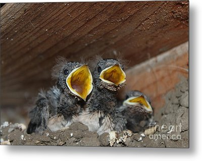 Hungry Cute Little Baby Birds  Www.pictat.ro Metal Print by Preda Bianca Angelica