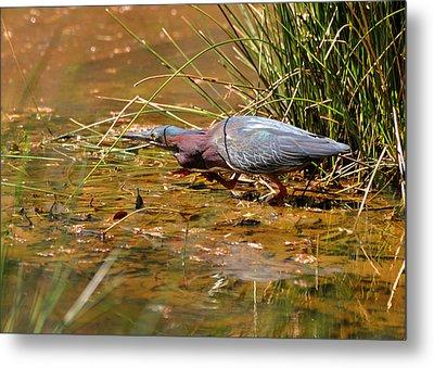 Hunting Green Heron - C9822b Metal Print by Paul Lyndon Phillips