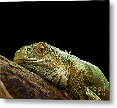 Iguana Metal Print by Jane Rix