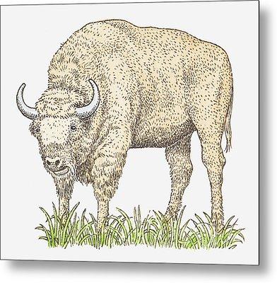 Illustration Of A Bison Metal Print by Dorling Kindersley
