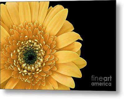 Joyful Delight Gerber Daisy Metal Print by Inspired Nature Photography Fine Art Photography