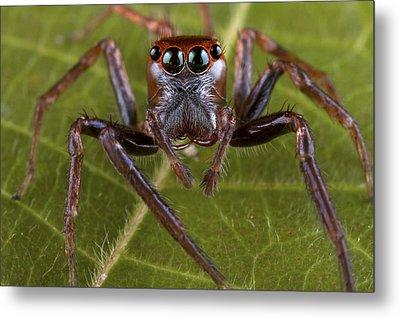 Jumping Spider Papua New Guinea Metal Print by Piotr Naskrecki