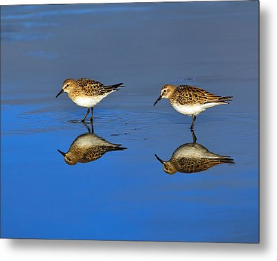 Juvenile White-rumped Sandpipers Metal Print by Tony Beck