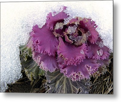 Kale Plant In Snow Metal Print by Sandi OReilly
