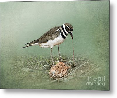 Killdeer And Worm Metal Print by Betty LaRue
