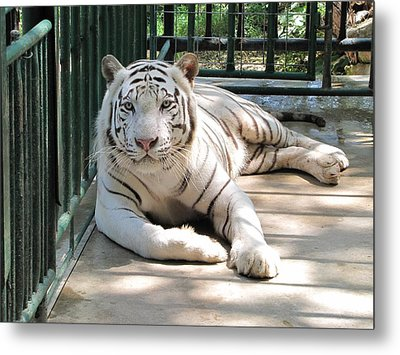 Kimar The White Tiger Metal Print by Keith Stokes