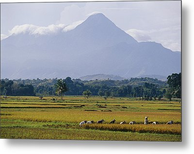 Laborers In A Rice Field Work Metal Print by Steve Raymer