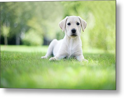 Labrador Puppy In Uk Garden Metal Print by Images by Christina Kilgour